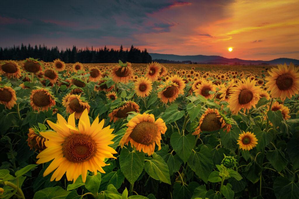 Smokey Sunset behind Sunflowers