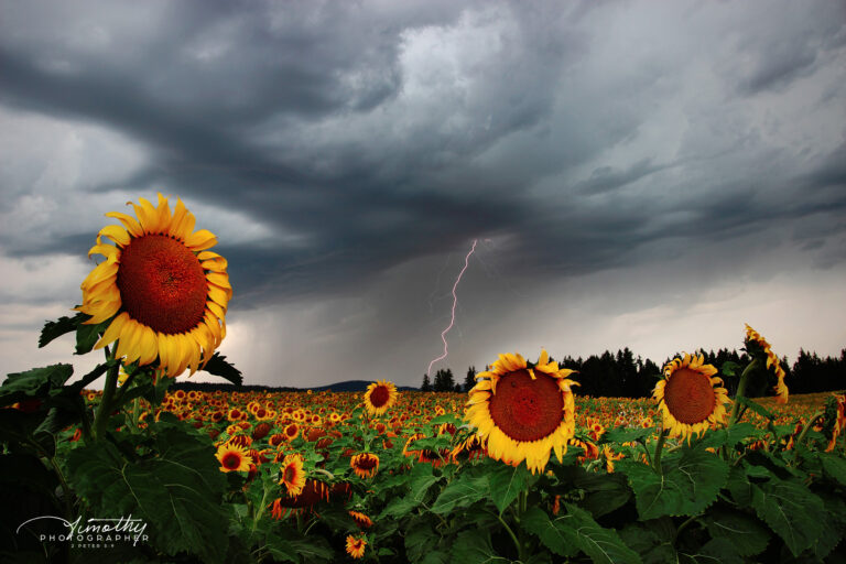 Sunflowers with a strike of lightning behind them